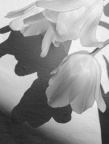 White on white, Tulips with shadows